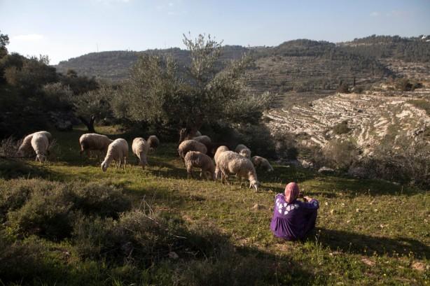 Mujer palestina observa a sus ovejas en tierras de pastoreo. Una vez terminado el muro rodeará al-Walaja y el pueblo perderá más o menos 85% de sus tierras de cultivo y una buena parte de su herencia cultural.