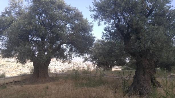 Olive_trees-EAPPI_